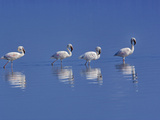 Lesser Flamingos (Phoenicopterus Minor)  Lake Nakuru National Park  Kenya  Africa