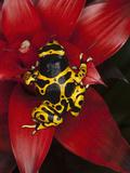 Yellow-Banded Poison Frog (Dendrobates Leucomelas)  Venezuela