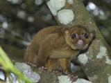 Kinkajou (Potos Flavus)  Cockscomb Basin Wildlife Sanctuary  Belize
