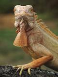 An Albino Iguana (Iguana Iguana)  Captive