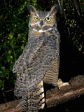 Great Horned Owls (Bubo Virginianus) Native to North America and in Central and South America