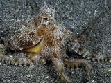 The Endemic Short-Armed Sand Octopus (Amphioctopus Arenicola)  Maui  Hawaii  USA