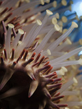 Spines and Tube Feet of a Crown-Of-Thorns Starfish (Acanthaster Planci)  Hawaii  USA