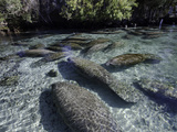 Florida Manatee Group in the Crystal River