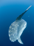 Ocean Sunfish (Mola Mola) Off San Diego  California  USA