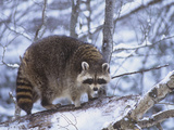 Raccoon on a Snowy Log  Procyon Lotor  North America