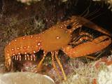 Western or Hawaiian Reef Lobster (Enoplometopus Occidentalis)  Tropical Indo-Pacific Ocean