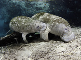 Endangered Florida Manatee Mother and Calf  Three Sisters Spring in Crystal River