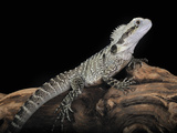 Australian Water Dragon (Physignathus Lesueurii)  Captive