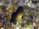 A Juvenile Twotone or Scopas Tang (Zebrasoma Scopas)  Tubbataha Reef  Philippines