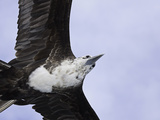 An Adolescent Magnificent Frigatebird (Fregata Magnificens) in Flight over Santa Cruz Island