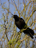 Great-Tailed Grackle (Quiscalus Mexicanus)  Sonoran Desert  Arizona  USA