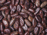 Raw  Whole Cacao Beans  the Source of Chocolate (Theobroma Cacao)Native to Tropical South America