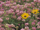 Meadow of Black-Eyed Susans  Rudbeckihirta  and Crown Vetch