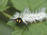 Moth Caterpillar  Nyungwe Forest National Park  Rwanda