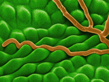 Powdery Mildew (Oidium) Fungal Hyphae on a Leaf Surface  SEM