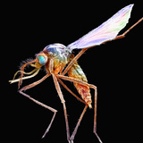 Mosquito  Adult Male  SEM X15
