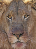 Male African Lion with a Bloody Face after Feeding  South Africa