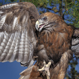 Red-Tailed Hawk (Buteo Jamaicensis)  Captive
