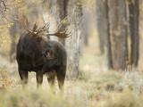 Bull Moose (Alces Alces) Watches Warily over a Nearby Cow Moose  Grand Teton National Park