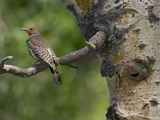 Red-Shafted Flickers (Colaptes Auratus) at the Nest Hole in an Aspen Tree