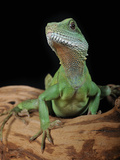 Chinese Water Dragon (Physignathus Cocincinus)  Captive
