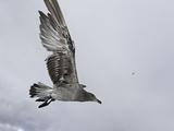 Lava Gull (Larus Fuliginosus) in Flight over Santa Cruz Island
