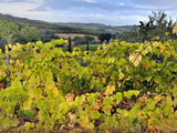 Vineyards  Montalcino  Italy  Tuscany