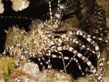 This Male Marbled Shrimp (Saron Marmoratus) Showing its Elongated Claws and Tufts of Bristles