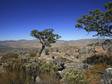 Clanwilliam Cedar Is One of the Largest of the Fynbos Trees  Growing Up to 20 Meters