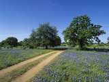 Dirt Road Through a Meadow of Flowering Texas Bluebonnets  Lupinus Texensis  Hill Country  Texas