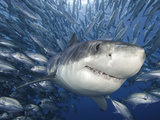Great White Shark (Carcharodon Carcharias) Swimming Through a School of Smaller Fish