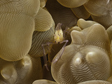 Bubble Coral Shrimp (Vir Philippinensis) on Bubble Coral (Plerogyra)  Philippines