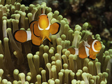 Clown Anemonefish in a Sea Anemone (Amphiprion Ocellaris)  Philippines