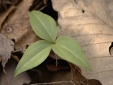 Persistent Trillium Leaves  Trillium Persistens  on the Forest Floor
