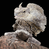 Frilled Dragon (Chlamydosaurus Kingii)  Captive