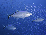 The Bar Jack (Caranx Ruber) Is Common Caribbean Species These Three are Hunting Baitfish