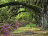 Stately Live Oaks  Quercus Virginiana  and Blooming Azaleas  Magnolia Plantation  Charleston  Sc