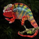 Panther Chameleon (Furcifer Pardalis)  Captive