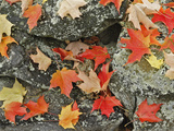 Autumn Leaves on Stone Wall  Minute Man National Historical Park  Massachusetts