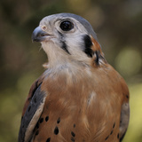 American Kestrels (Falco Sparverius) are Native to North and South America  Captive