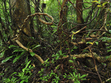 Tropical Rainforest with Numerous Lianas or Vines in Masoala National Park  Madagascar