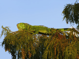 Escaped Pet Green Iguana (Iguana Iguana) Living in Wakodahathcee Wetlands  Delray Beach  Florida