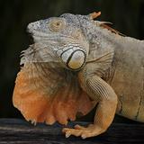 Albino Iguana (Iguana Iguana)  Captive