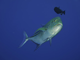 Bluefin Trevally or Jack (Caranx Melampygus) with a Triggerfish Hovering Above  Hawaii  USA