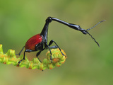 Male Giraffe-Necked Weevil (Trachelophorus Giraffa)  Andasibe-Mantadia National Park  Madagascar