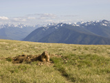 An Alert Olympic Marmot at its Den Opening on Hurricane Ridge  Olympic National Park  Washington