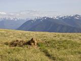 An Alert Olympic Marmot at its Den Opening on Hurricane Ridge  Olympic National Park  Washington
