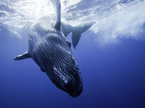 A Humpback Whale Calf (Megaptera Novaeangliae) Swimming Near its Mother  Hawaii  USA