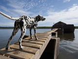 Dalmatian Dog Stands on Boardwalk Leading to Barge on the Panteleikha River